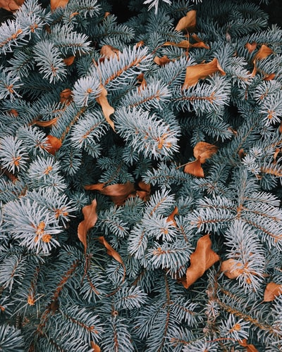 Pine trees and leaves in the winter.