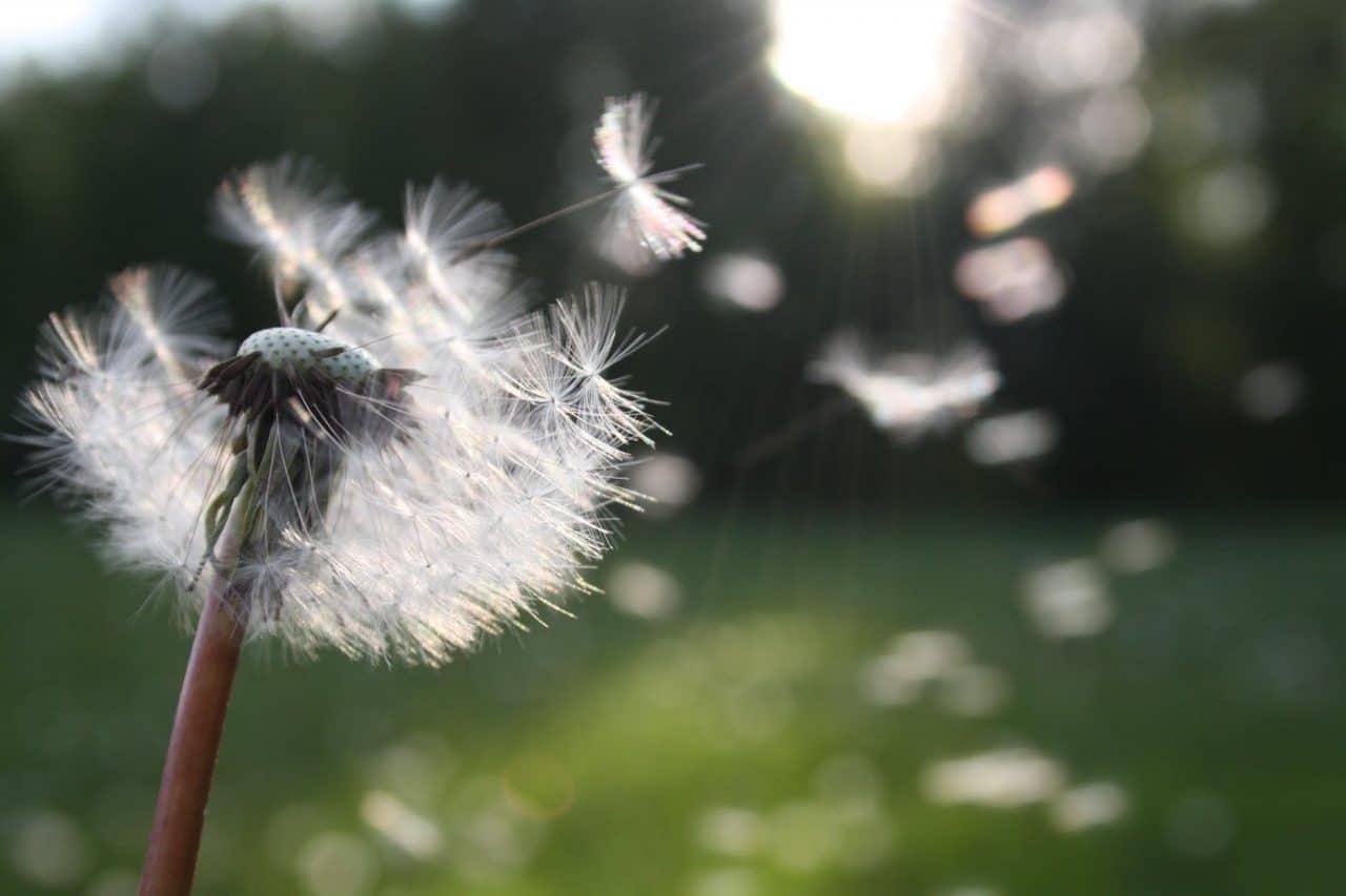Dandelion seeds blowing in the air.