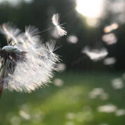 Dandelion seeds blowing in the air.